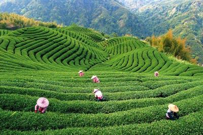 Терпение и упорство в выращивании китайского чая